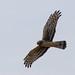 Northern Harrier (ruthpphoto) Tags: bird northernharrier