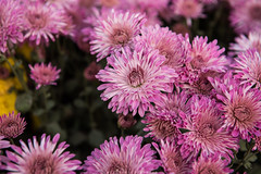 Pink (imtiazchaudhry) Tags: flowers beautiful petals flora nature contrast colors garden outdoor