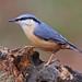 Nuthatch (Bill Gawler's Wildlife Photos) Tags: