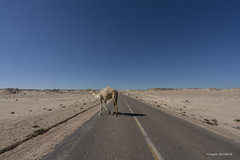 Camels could appears & stop you at any time. It was my first time I saw a white camel. (Karim Achalhi) Tags: camels sahara dakhla morocco visitmorocco streetphotography advertising lifestyle road sky animal shadow