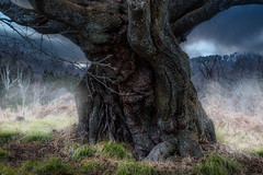 Monster tree (kellypettit) Tags: tree scary oldtree thick massive 300yearsold japan sakura cherrytree