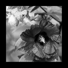 Douceurs (Antoine - Bkk) Tags: flower black white closeup monochrome nature thailand