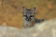 Gray Fox Kit (thebanjobert) Tags: fox kit pup grayfox foxes