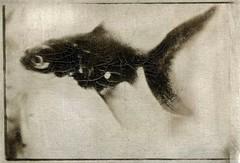Aquarium 5 (w.l. warner) Tags: pentax asahi spotmatic spii 35mm film bw fish aquarium gumbichromate gumprint potassiumdichromate stillness silence watervapor dust light gravity time