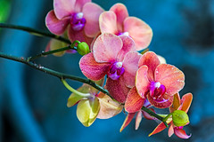 Orchids (explored) (j1985w) Tags: red florida flowers naples orchid