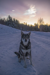 Tequila (linneasnow94) Tags: polarstratosphericcloud cloud animal snow winter norway cold sky sunset morning jamthund jämthund dog dogs pet pets huntingdog tree forest trees canonnordic canon canoneos80d eos