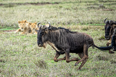 Dinner passes by (PhilHydePhotos) Tags: africa mvuli seasonofsmallrains serengeti tanzania wildebeest lion