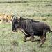 Dinner passes by (PhilHydePhotos) Tags: africa mvuli seasonofsmallrains serengeti tanzania wildebeest lion