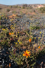 Roadside Flowers (peterkelly) Tags: digital canon 6d africa southafrica capetowntovicfalls intrepidtravel northwest roadside orange flower gravel