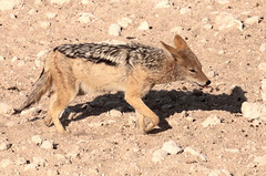 Black-Backed Jackal (peterkelly) Tags: digital canon 6d africa namibia capetowntovicfalls intrepidtravel etoshanationalpark blackbackedjackal jackal shadow