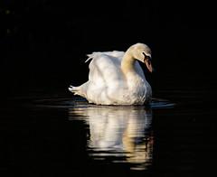 (haslerbryan) Tags: greatbritain bird avian sigmalens canon80d greatamwell hertfordshire lake waterreflection water muteswan swan