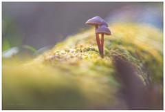 Otra perspectiva (sergio estevez) Tags: bokeh color campodegibraltar desenfoque guadalmesi hongo luz macro micro micologia naturaleza mushroom musgo seta verde primotar135mmf35 meyeroptik sergioestevez