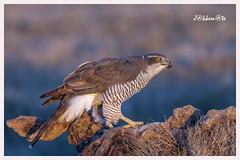 Azor (Accipiter gentilis) (JORGE AMAYA BUSTAMANTE - JAKKEMATE) Tags: azor accipiter gentilis jakkemate jorge amaya bustamante nikon d500 sigma 150600 sports el taray