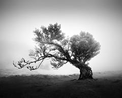 Fanal XXXV (sleachim) Tags: fanal madeira fog mist tree