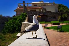 Jonathan torna a casa - Jonathan goes home (Eugenio GV Costa) Tags: approvato jonathan animal animali animals seagull gabbiano outside