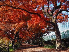 autumnal tints (Kito K (fxkito2)) Tags: nature japan autumn tokyo fineart lumix olympus red omd