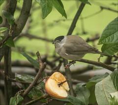 Blackcap with apple (catb -) Tags: bird blackcap feeding apple garden dublin ireland sylviaatricapilla