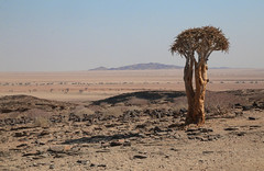 Kuiseb Pass (peterkelly) Tags: digital canon 6d africa namibia capetowntovicfalls intrepidtravel namibdesert quivertree tree landscape kuisebpass