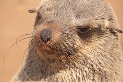 Cape Fur Seal Portrait (peterkelly) Tags: digital canon 6d africa namibia capetowntovicfalls intrepidtravel seal head face whiskers nose skeletoncoast capecrosssealreservecape fur colony