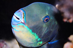 Sleeping Steephead Parrotfish (initial phase) (Gomen S) Tags: animal wildlife nature fish macro 60mmmicro d500 nikon underwater diving cebu moalboal philippines 2019 night