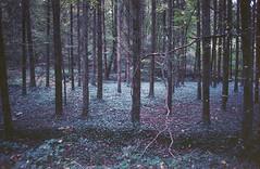 Autumn forest / 03 (vcantabile) Tags: ektar100 kodakektar100 autumnforest 35mm film grain analog analogue seagulldf2etm kodak autumn forest purple drealike dream ektar