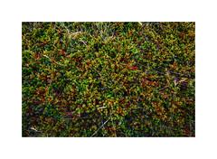 Amazing Iceland - Black crowberry (Passie13(Ines van Megen-Thijssen)) Tags: ijsland iceland island vestfirðir ísafjarðarflugvöllur zwartecrowberry empetrumnigrum blackcrowberry crowberry schwarzekrähenbeere krähenbeere empetrum canon inesvanmegen inesvanmegenthijssen berry krähenbeeren