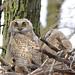 Great Horned Owlet...#4 (Guy Lichter Photography - 5.3M views Thank you) Tags: canon 5d3 canada manitoba winnipeg wildlife animal animals bird birds owl owls greathornedowls tree nest explore