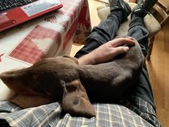 So, So Tired - Doberman Puppy Kaiser After A Busy Morning Of Mischief (firehouse.ie) Tags: brownandtan redandtan brown red pinscher doberman dobies dobie dobes dobe puppys puppies puppy pups pup