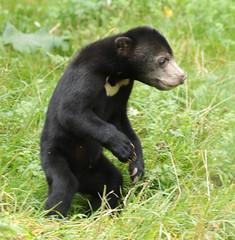 sunbear Burgerszoo BB2A0069 (j.a.kok) Tags: animal asia azie mammal bear beer burgerzoo burgerszoo bearcub berenwelp cub honingbeer honeybear maleisebeer malayanbear sunbear sunbearcub