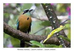 Lesson´s motmot (Jan H. Boer, Nature photographer) Tags: birds nature wildlife portrait costarica momotusmomotalessonsmotmot lessonsmotmot turrúcares mybackyard nikon d500 afsnikkor200500f56e jansphotostream2019