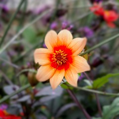 Autumn Dahlia (Bob.W) Tags: attinghampark shrewsbury shropshire dahlia nationaltrust ngc coth5