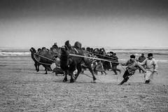 Taming the wild camel (Bulgan Sum, Mongolia. Gustavo Thomas © 2019) (Gustavo Thomas) Tags: taming doma domar camel camello bactrian gobidesert desiertodelgobi desert animal tradition mongolian mongolia centralasia mono monochrome bnw blancoynegro blackandwhite festival voyager adventure