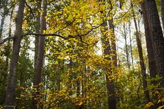 Coastal Georgia Autumn (paulgarf53) Tags: trees leaves autumn colors georgia savannah nature nikon d700