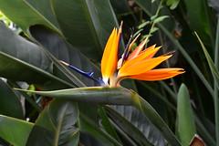Photo of Flower of Paradise