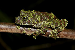 Vietnamese Mossy Frog (Theloderma corticale) (cowyeow) Tags: cucphuong cúcphương forest asia asian nature mountain herping nationalpark herp herps herpetology wildlife toad frog amphibian weird vietnamese mossyfrog thelodermacorticale theloderma corticale mossy green rare endemic