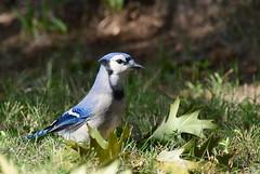 DSC_6161 Blue jay (Charli 49) Tags: nature naturfotografie wildlife fauna vogel blue jay garten ontario kanada nikon d500 nikkor 200500