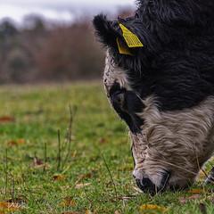 Grazing (PhilR1000) Tags: cow animal farm nationaltrust basildonpark tagged