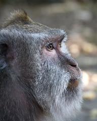 Cheeky Monkey (charenty) Tags: monkeyforrest indonesia bali ubud monkey