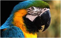 Parrot (na_photographs) Tags: papagei bird bunt color colour vogel