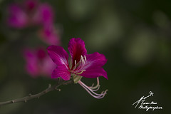 SHF_5785_Bauhinia variegata flower (Tuan Râu) Tags: 1dmarkiii 14mm 100mm 135mm 1d 1dx 2470mm 2019 50mm 70200mm canon canon1d canoneos1dmarkiii canoneos1dx flowers flora floral nature bauhiniavariegata beautiful beauty beautifulinnature dof colorful leaf closeup tuanrau tuan râu httpswwwfacebookcomrautuan71