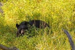 The place to be (ChicagoBob46) Tags: blackbear bear yellowstone yellowstonenationalpark nature wildlife coth5 ngc naturethroughthelens npc