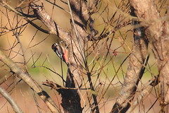 Great spotted woodpecker (zbackkcabz) Tags: greatspottedwoodpecker woodpecker beautiful bird birds wildbird wildlife nature naturewatcher awesome amazing animal scene cool country cute outdoor