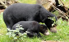 sunbear Burgerszoo BB2A0010 (j.a.kok) Tags: animal asia azie mammal bear beer burgerzoo burgerszoo bearcub berenwelp cub honingbeer honeybear maleisebeer malayanbear sunbear sunbearcub motherandchild moederenkind