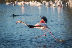 Parc Ornithologique de Pont de Gau (Patrice Fauré) Tags: camargue provence provencealpescôtedazur flamantsroses flamingos bouchesdurhône lessaintesmariesdelamer oiseaux sonyalpha77 sonyalphadslr minolta minolta75300