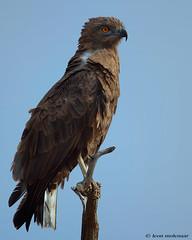 Brown Snake-Eagle (leendert3) Tags: leonmolenaar southafrica krugernationalpark wildlife wilderness wildanimal nature naturereserve naturalhabitat bird eagle brownsnakeeagle