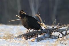 1.02248 Urubu noir / Coragyps atratus atratus / Black Vulture (Laval Roy) Tags: quebec aves birds oiseaux canon urubunoir coragypsatratusatratus blackvulture rapaces cathartidés accipitriformes lavalroy hiver saisonhivernale