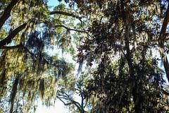 (K e v i n) Tags: bonaventurecemetery savannah georgia ga trees spanishmoss