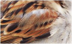 Feathers of a sparrow (na_photographs) Tags: spatz bird vogel gefieder feder federn