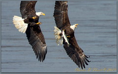 Grand Theft Piscis (ctofcsco) Tags: 12500 1200mm 1d 1dmark4 1dmarkiv 1div 20x 2x canon canonef600mmf4lisiiusm didnotfire digital ef2x ef2xii ef600mmf4lisiiusm20x eos eos1d eos1dmarkiv esplora 2017 2019 baldeagle bird birds eagle explore explored fishing maryland md nature pretty renown susquehannariver wildlife extender f80 flashoff iso800 mark4 markiv photo pic shutterspeedpriorityae spot supertelephoto teleconverter telephoto unitedstates usa darlington
