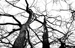 Le ciel la nuit .. (daniel j. villeneuve) Tags: djfotos ciel arbre trees sky night nuit nb noiretblanc blackandwhite vertigineux automne fall